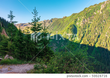 coniferous trees on the rocky slope 50028716