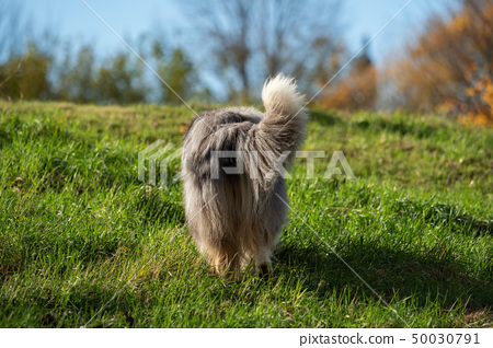 A beautiful collie with long hair out in nature 50030791