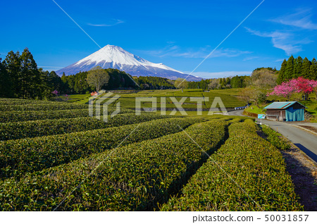 Mt. Fuji tea plantation 50031857