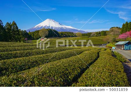 Mt. Fuji tea plantation 50031859