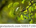 closeup of ginkgo biloba leaves in public garden 50037199
