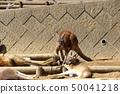 [정액] 캥거루 (kangaroo / Macropodidae Gray) 50041218