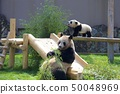和歌山县南纪白滨冒险世界的大熊猫的亲子(Yohama和Saihama) 50048969