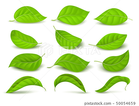 Realistic green tea leaves with water drops isolated on white vector set 50054659