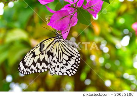 蝴蝶 50055186
