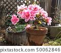 杜鵑花的粉紅色花朵,改良的杜鵑花,綻放美麗 50062846