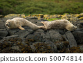 Common Seal Near Dunvegan On Isle Of Skye Scotland 50074814