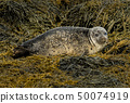 Common Seal Near Dunvegan On Isle Of Skye Scotland 50074919