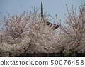 Spring Miyajima, cherry blossoms in full bloom and Itsukushima Shrine 50076458