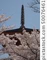 Spring Miyajima, cherry blossoms in full bloom and Itsukushima Shrine 50076461