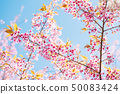 Pink cherry blossom, beautiful flowers in spring 50083424