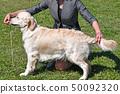 Young golden retriever dog outdoor 50092320