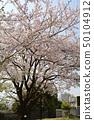 橫濱·山手櫻 50104912