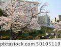 橫濱·山手櫻 50105119