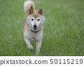 Shiba Inu playing in the field 50115219