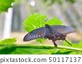 Callus Swallowtail 50117137