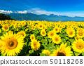 야마나시 현 호쿠토시 아 케노 해바라기 밭과 미나미 알프스 50118268