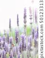 Lavender lavender field 50123313