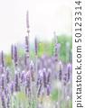 Lavender lavender field 50123314