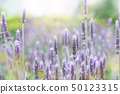 Lavender lavender field 50123315