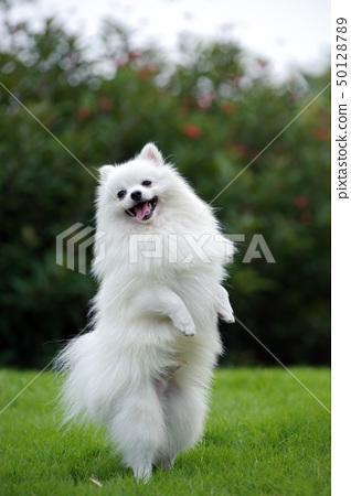 White pomeranian dog 50128789