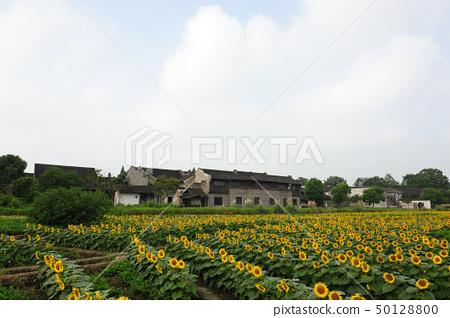 Sunflower field 50128800