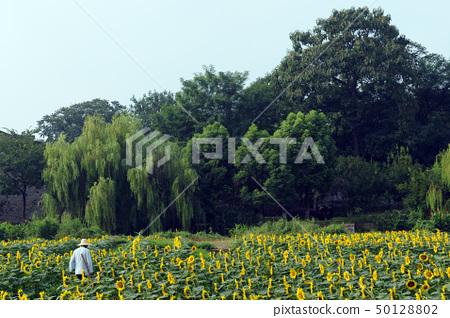 Sunflower field 50128802