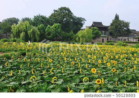 China village near the sunflower field 50128803