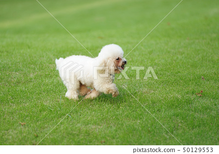 white  poodle dog running 50129553