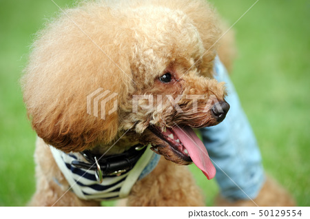 Portrait of a brown poodle dog standing 50129554