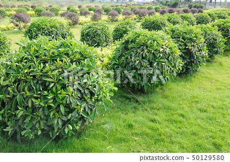 Green tea trees 50129580