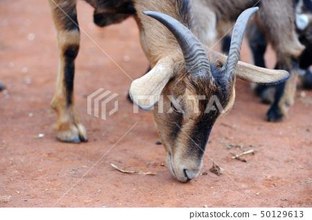 Goat eating 50129613