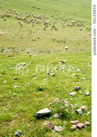 Goats in grassland 50129659