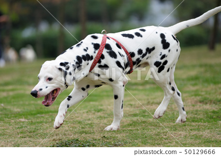 Dalmatian dog 50129666