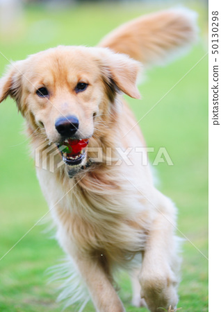 Golden retriever dog running 50130298