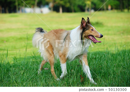 Collie rough dog running 50130300