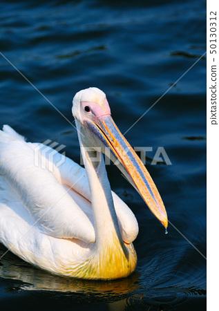 Pelican bird 50130312