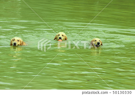 Three dogs swimming 50130330