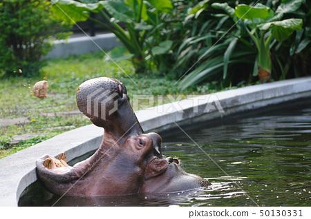 Hippopotamus amphibius 50130331
