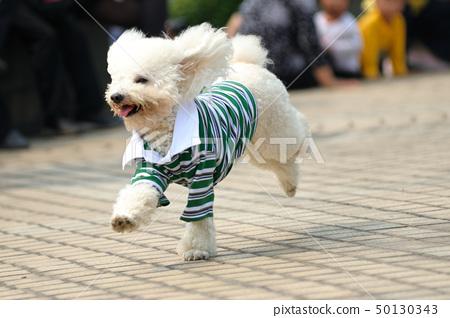 Toy poodle dog running 50130343