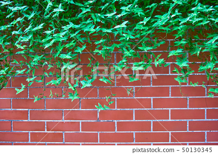 Green leaves on brick wall 50130345