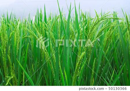 Rice seedlings 50130366
