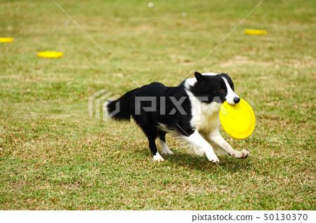 Border collie dog running 50130370
