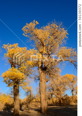 Little yellow leaves tree 50130372