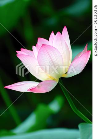 Lotus flower blooming 50130386