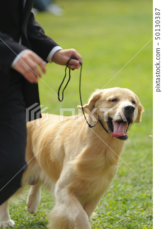 Master playing with golden retriever dog 50130387