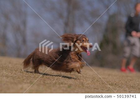 Dachshund Kaninhaen cute 50139741