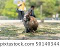 Okunojima rabbit 50140344