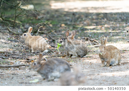 Okunojima兔子 50140350