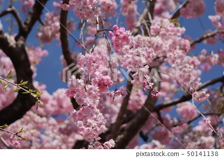벚꽃 50141138